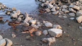 Duck swimming and finding foods near lake. In the park stock video