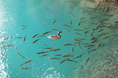 Duck and fish in the clear water royalty free stock photo