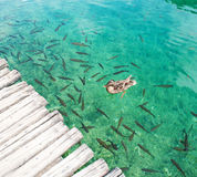 A duck swimming among fish Stock Photo