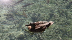 The duck swimming between the fishes in  the lake stock footage