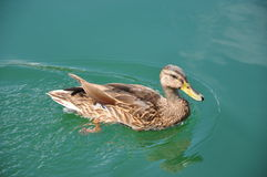 Duck Swimming. Duck floating on the waters in Central Park stock photo