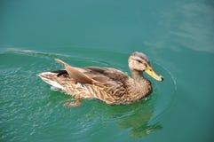 Duck Swimming Stock Photo