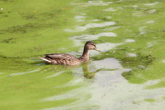 Duck swimming in green water Stock Images