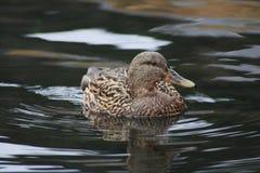 Duck. Swimming i the sea Stock Photo