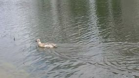 Duck swimming in the lake. Animal in the wild stock footage