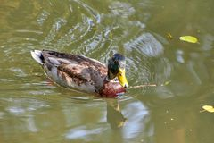 Duck swimming in the lake. Bird with bright multi-colored feathers. Duck with a beautiful color floats on water. Duck swimming in the lake. Bird with bright stock photos