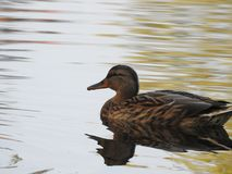 Duck swimming on a lake Stock Image
