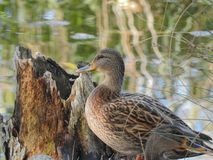 Duck swimming on a lake royalty free stock photo