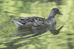 Duck swimming on lake. Cute duck swimming on lake Stock Photography
