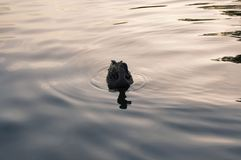 Duck swimming in a lake. Duck floating in the water Royalty Free Stock Image