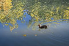 A duck swimming in a lake. Stock Photo