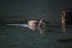Duck swimming in the lake Royalty Free Stock Photos