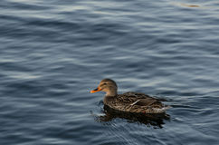 Duck swimming in lake Royalty Free Stock Image