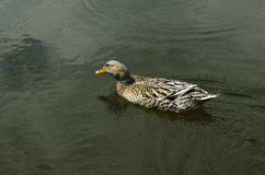 Duck swimming in a lake. Stock Photos