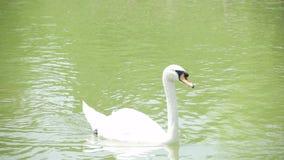 A duck swimming in lake in Izmir - TURKEY stock video