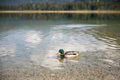 Duck swimming in lake Offensee in Austria. Duck swimming in lake Offensee in Salzkammergut Austria Stock Images