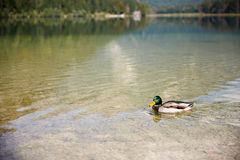 Duck swimming in lake Offensee in Austria. Duck swimming in lake Offensee in Salzkammergut Austria Stock Photography