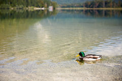 Duck swimming in lake Offensee in Austria. Duck swimming in lake Offensee in Salzkammergut Austria Royalty Free Stock Image