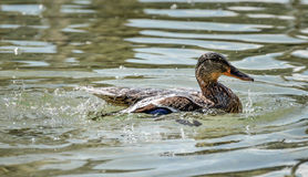 Duck is swimming Royalty Free Stock Images