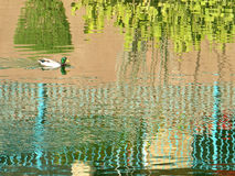 Duck swimming. On a lake with reflection of the houses around it Stock Image
