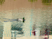 Duck swimming. On a lake with reflection of the houses around it Stock Images
