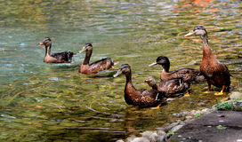 Duck swimming in lake. Royalty Free Stock Photo