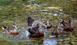 Duck swimming in lake. Stock Photography