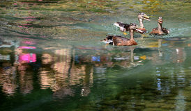 Duck swimming in lake. Stock Images