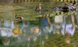 Duck swimming in lake. Stock Photo
