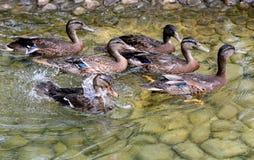 Duck swimming in lake. Stock Photos