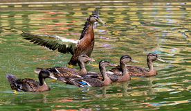 Duck swimming in lake. Royalty Free Stock Image