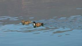 Duck swimming on lake. Two ducks swimming on lake stock footage