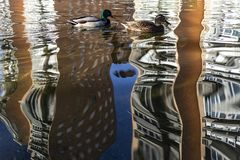 Duck swimming on a lake on a urban park royalty free stock photo