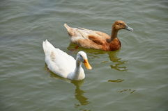 Duck swimming on the lake Stock Photography