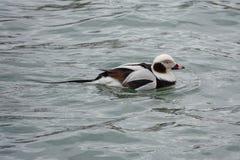 Duck Swimming met lange staart op Meer Erie royalty-vrije stock fotografie