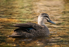 Duck Swimming nero pacifico fotografie stock libere da diritti