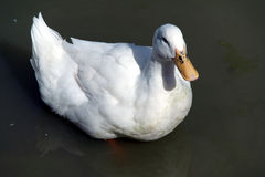 Duck Swimming op een Vijver Stock Afbeelding