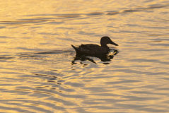 Duck Swimming In Pampeano Immagini Stock