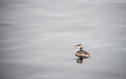 Duck is swimming. This is a photo of duck is swimming in the lake Stock Photography
