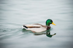 Duck is swimming. This is a photo of duck is swimming in the lake Royalty Free Stock Image