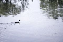 Duck Swimming in pod Royalty Free Stock Images
