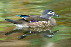 Duck swimming in a pond Royalty Free Stock Image