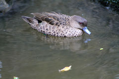 Duck swimming in pond Royalty Free Stock Image