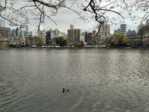 A duck swimming on the pond, background building and cherry branch with cloudy sky, Tokyo 2016