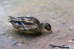 Duck swimming in the pond Royalty Free Stock Photo