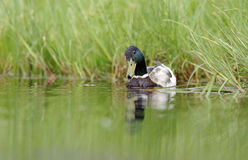 Duck swimming in the pond. Duck/drake swimming in the pond in summer Stock Images