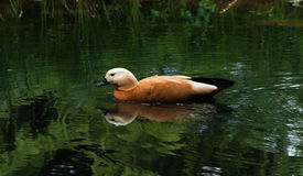 Duck swimming in a pond. Duck swimming in a green pond Stock Photos