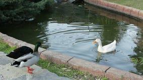 Duck Swimming In Pond in het park Het wilddier Mooie vogels in een troep Een troep van eenden watervogels stock footage