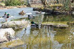 Duck swimming in pond with ice stock images