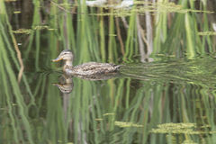 Duck swimming in pond. A lone dck swims in the calm water Stock Images